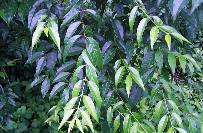 苦丁茶高产栽培技术