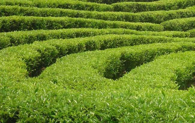 茶叶用什么农药防治最好图片