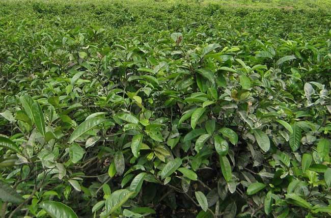 茶树种植中茶芽瘿蚊的防控技术