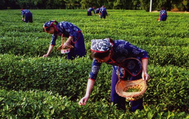 茶叶的采摘技术