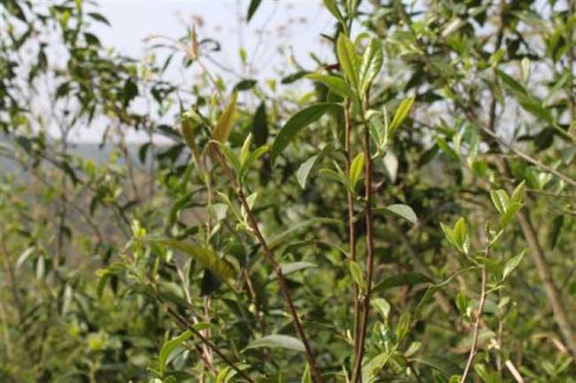 白茶的种植技术