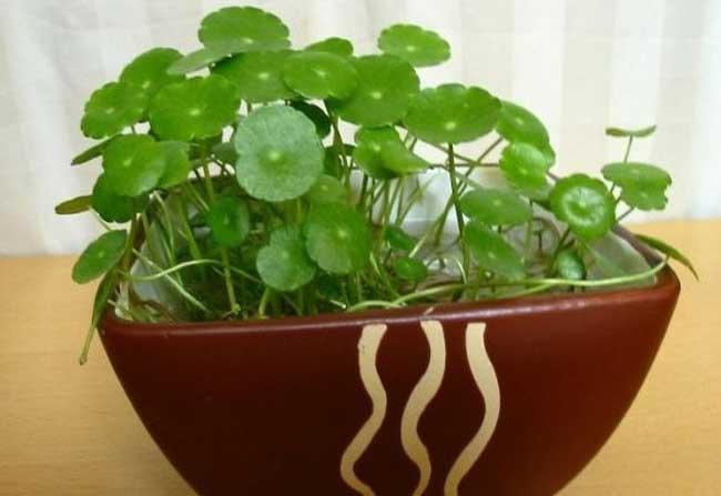 盆栽水生植物