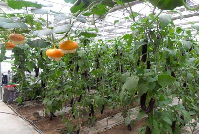 温室蔬菜冬季施肥十不宜