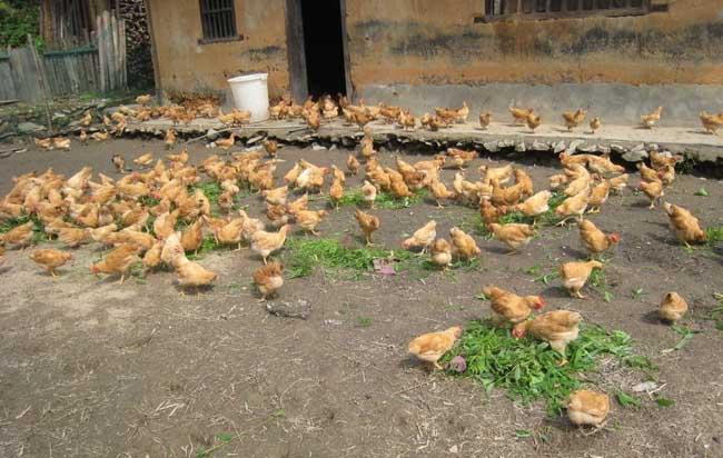 贵州养鸡市场怎么样