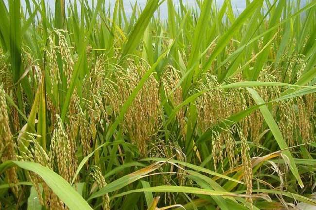 种植有机米