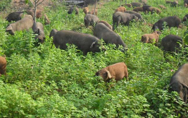 生态养猪养殖