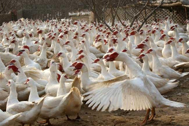 香鹑雁养殖
