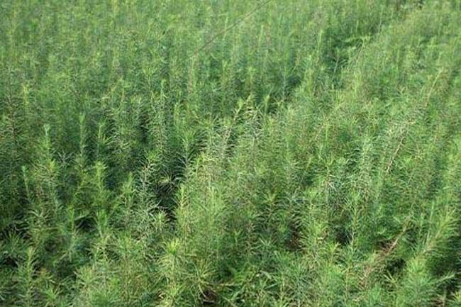 种植什么树苗最赚钱