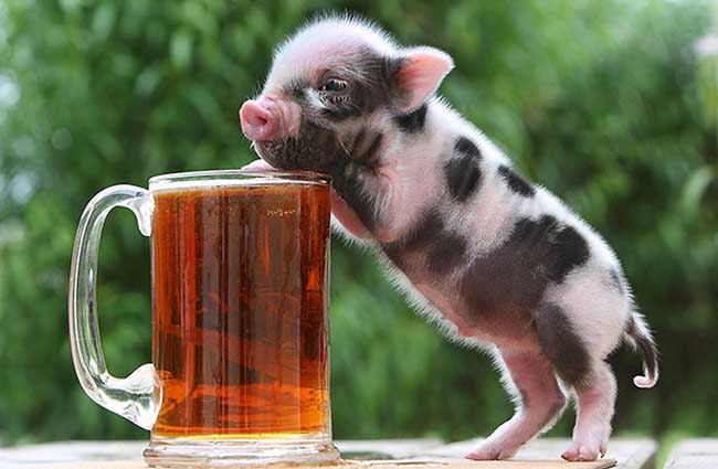 宠物猪的价格