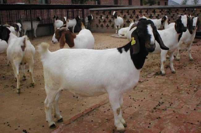 波尔山羊价格