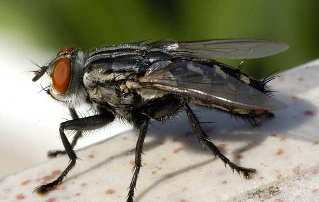 苍蝇怕什么天敌