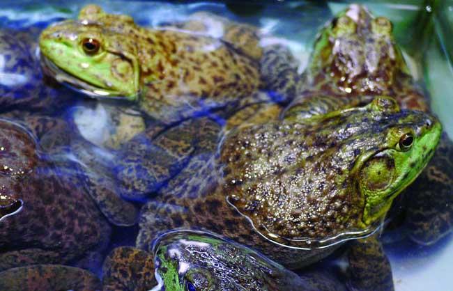 牛蛙的营养价值