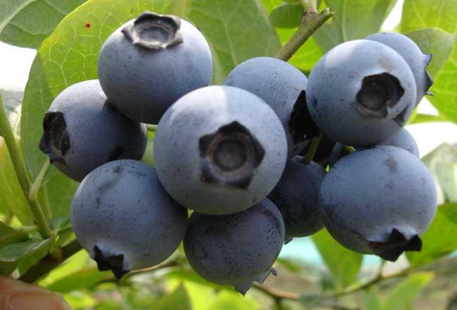 蓝莓的功效和作用