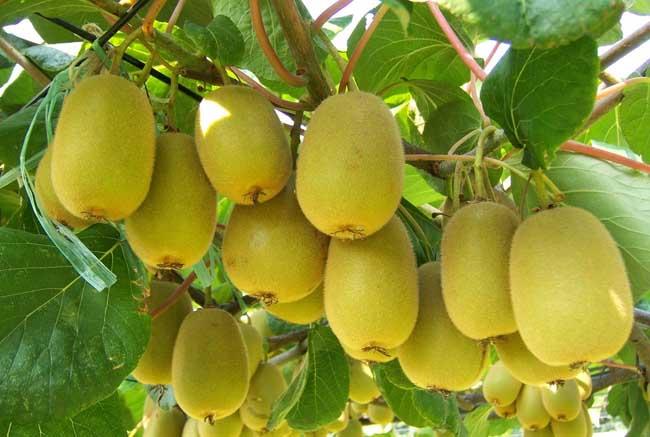 猕猴桃的营养价值和功效与作用