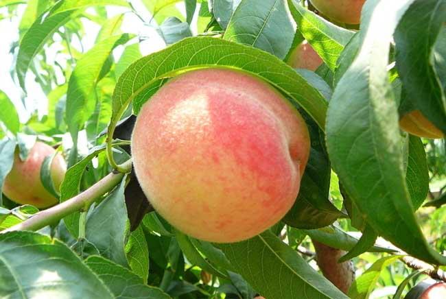 桃子的营养价值