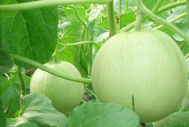 香瓜的功效与作用