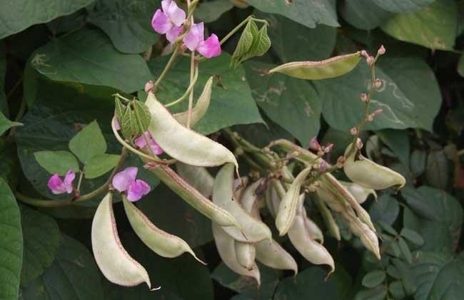 扁豆的功效与作用