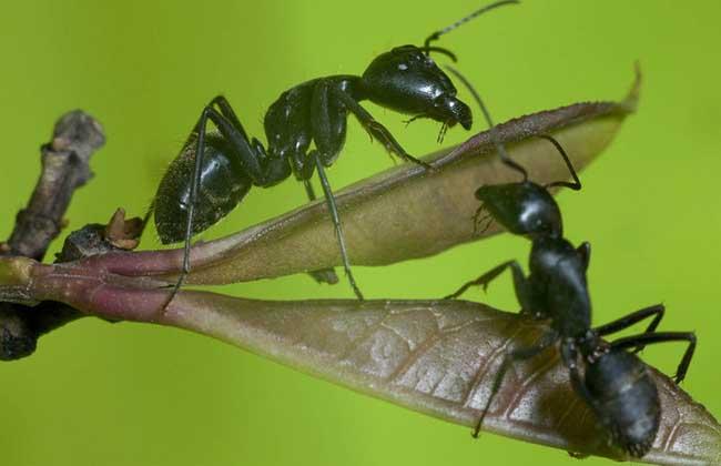 黑蚂蚁的营养价值及功效与作用