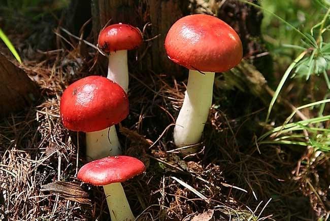 红菇的功效与作用