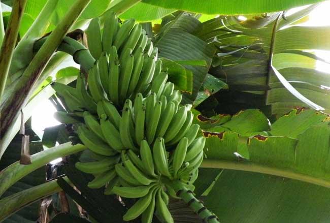 香蕉和芭蕉的区别