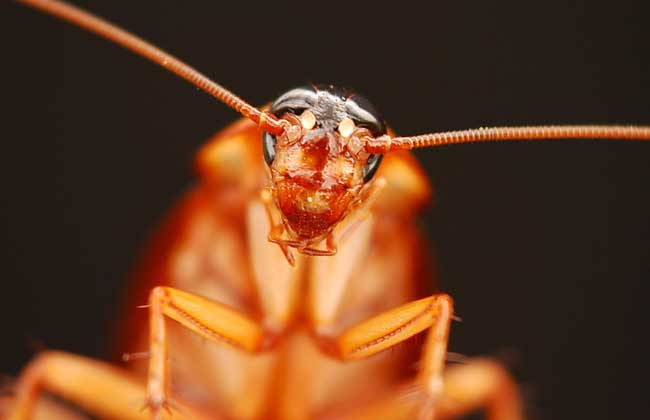 蟑螂咬人吗