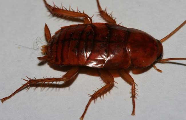 蟑螂怎么消灭?