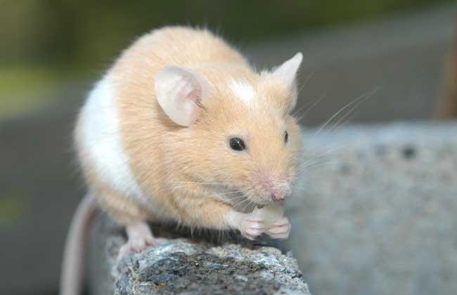 家里有老鼠怎么办