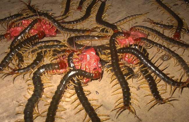 蜈蚣的功效与作用