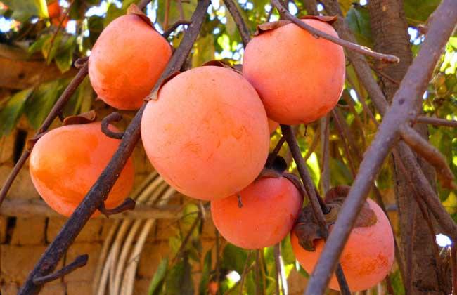 柿子不能与什么同吃