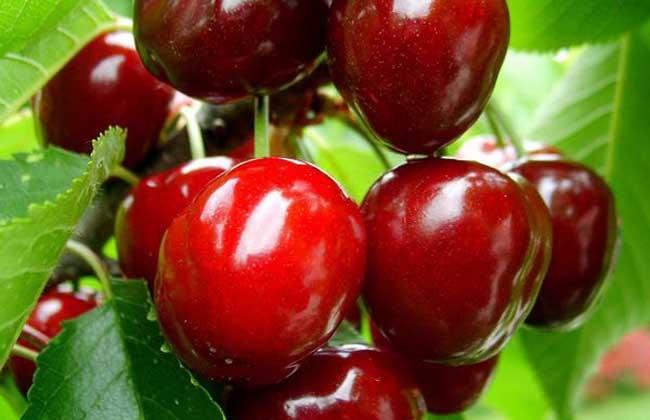 孕妇能吃樱桃吗
