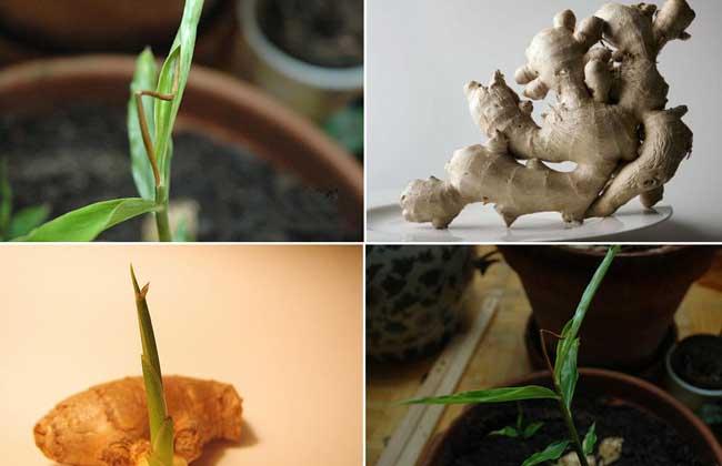 生姜发芽能吃吗