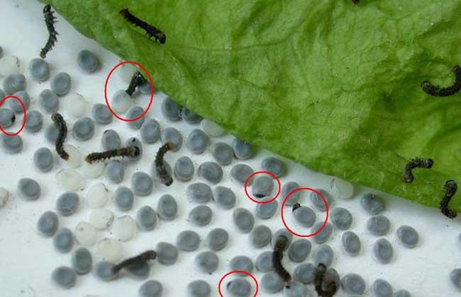 蚕的饲养管理技术