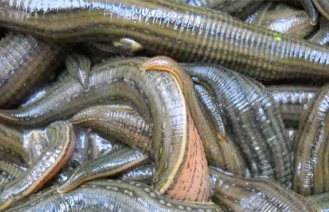 水蛭养殖技术视频