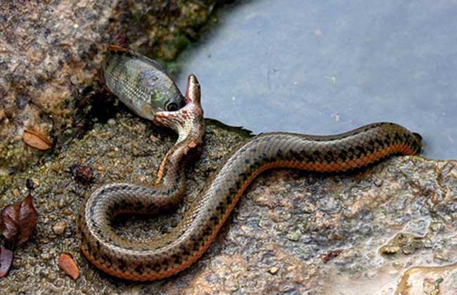 水蛇养殖技术