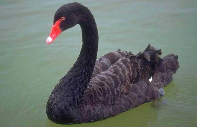 黑天鹅养殖技术