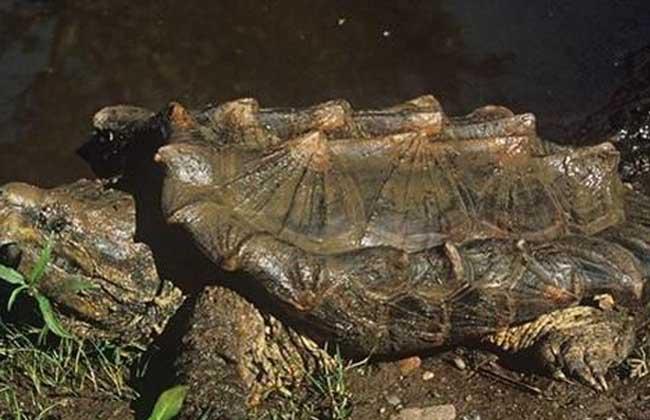 鳄鱼龟怎么养