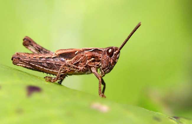 蝗虫能吃吗