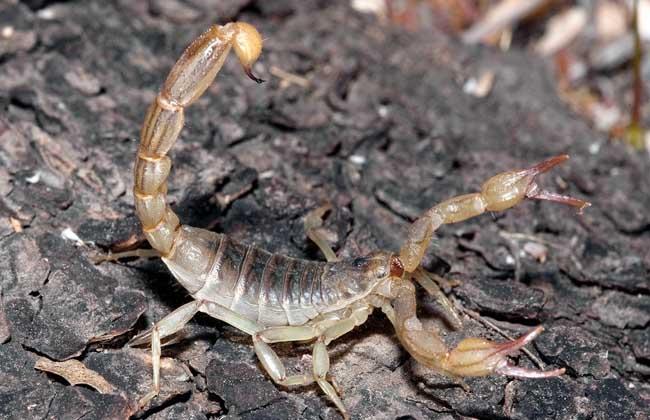 蝎子养殖技术