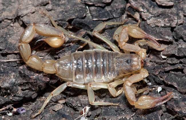蝎子吃什么