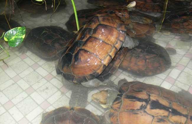 石金钱龟的养殖技术