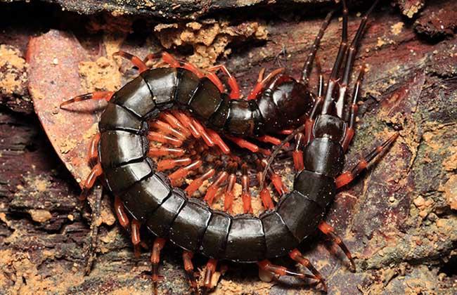 蜈蚣养殖的环境选择和食物来源