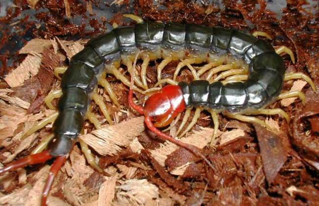 蜈蚣养殖技术