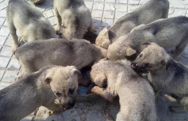 肉狗养殖成本