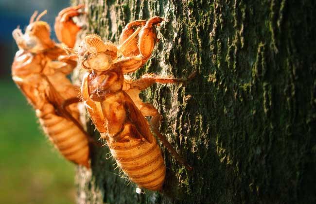 金蝉养殖技术
