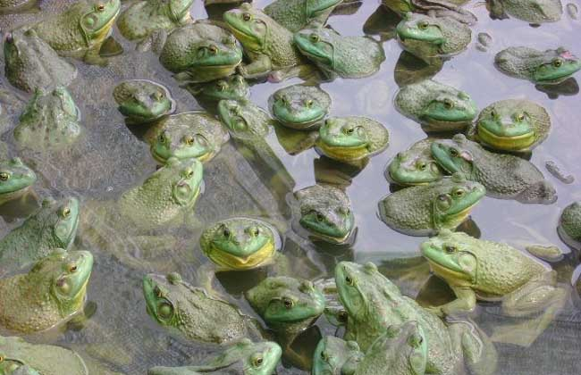 牛蛙的越冬养殖技术