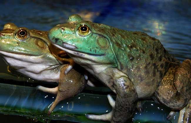 商品牛蛙的高效饲养技术