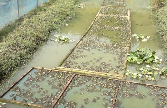 牛蛙养殖技术
