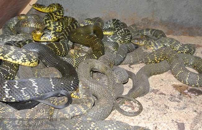 大王蛇养殖