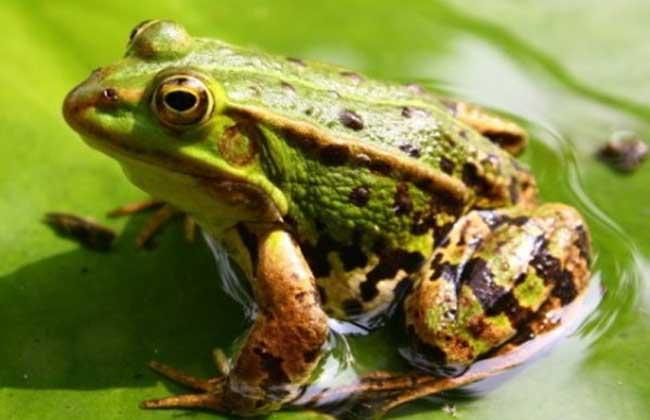 青蛙养殖技术