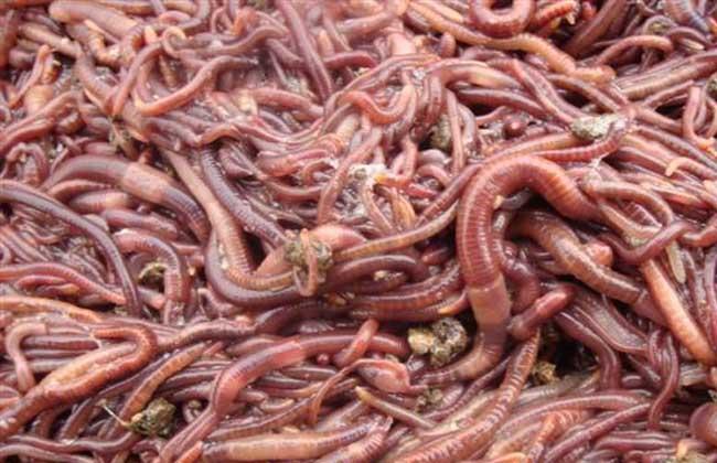 蚯蚓养殖的经济效益